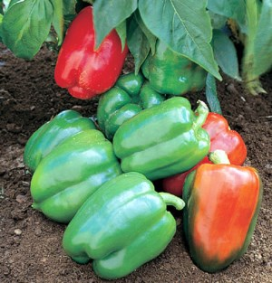 Yankee Bell Pepper Plants