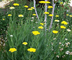 Gold Yarrow blooming in spring.