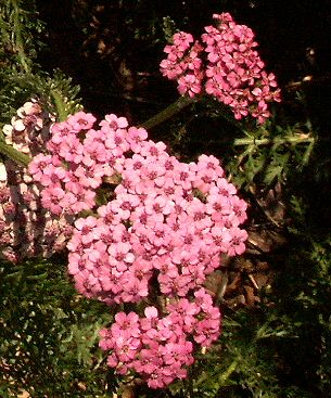 Colorado Yarrow Flower