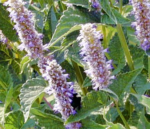 Agastache blooms attract bumblebees