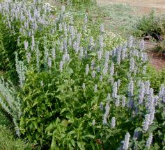 Anise Hyssop in a hedge