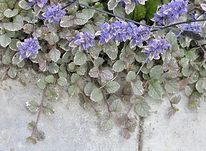 Burgundy Glow Ajuga growing on paving stone.