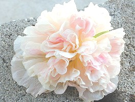 A single gorgeous Chamoise Rose Apricot Hollyhock bloom