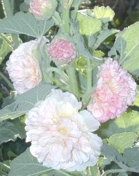 Double Apricot Chamois Rose Hollyhock Flowers