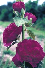 Double Royal Purple Hollyhock blooms