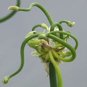 The art of an Allium cepa