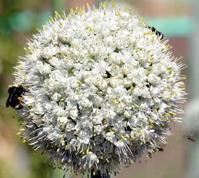 Garlic Chive Plant flower full of beneficial insects.