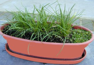 Corsican Mint plant creeps slowly next to Chives