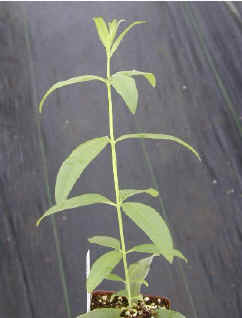 Lemon Verbena with a main stem