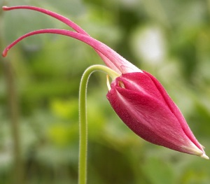 Columbine Plants are pretty even as unopened buds