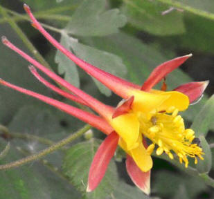 Tequila Sunrise Columbine