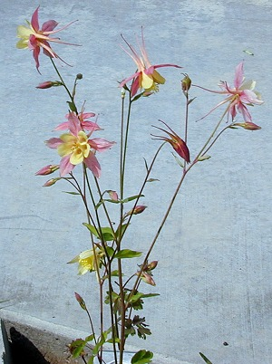 McKana's Giant Columbine Flowers