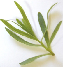 French Tarragon Tip