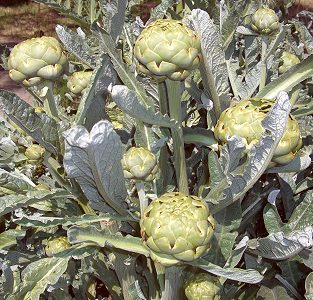 Artichokes ready to pick