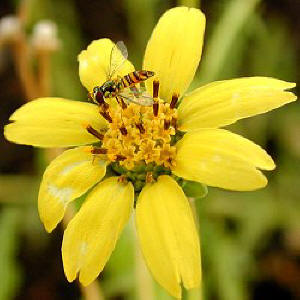 Beneficial wasp feeds on Chocolate Daisy nectar.