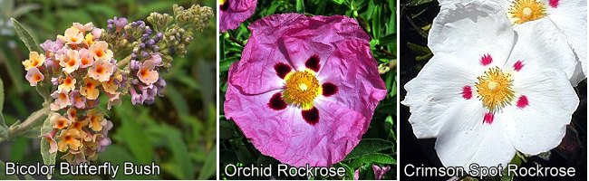 Bicolor Butterfly Bush, Orchid and Crimson Spot Rockrose