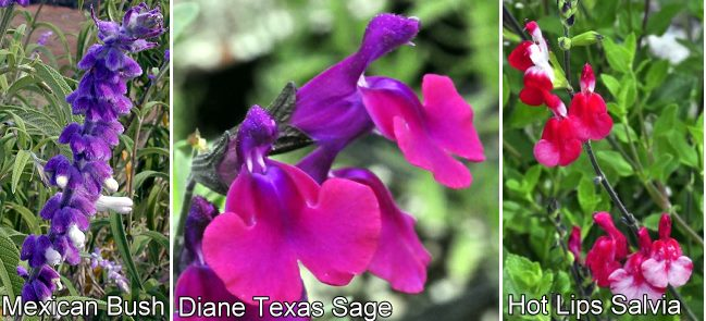 Mexican Bush Sage, Diane Texas Sage and Hot Lips Salvia