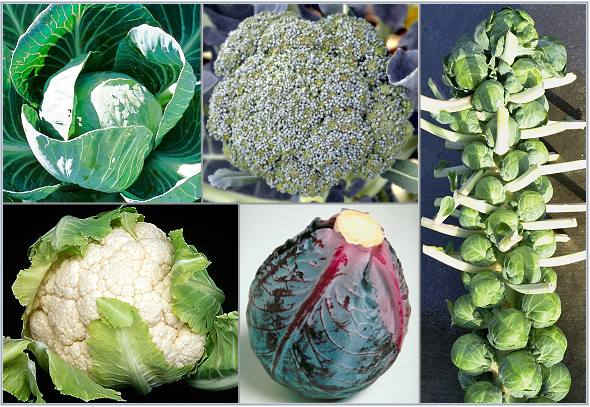 Organic Broccoli Plants, Organic Cauliflower Plants, Organic Brussel Sprout Plants, Organic Green Cabbage Plants