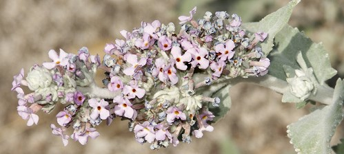 The fragrant flowers of the Himalayan Butterfly Bush
