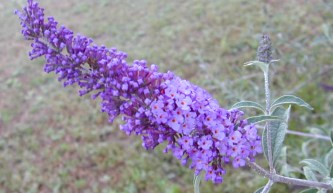 Close up of Dwarf Blue Butterfly Bush Flower Wand