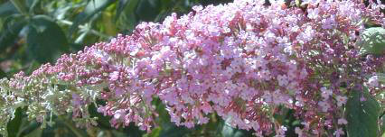 Pink Butterfly Bush Flower Wand