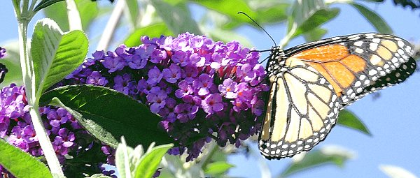 Royal Red Butterfly Bush and Monarch Butterfly