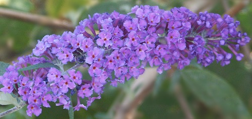 Twilight Butterfly Bush Flower