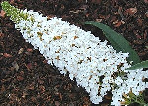 Buddleia Davidii White Profusion Butterfly Bush