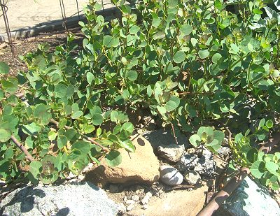 Caper bush growing in the rocks.