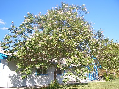 A Chitalpa is the perfect patio tree.