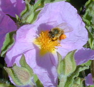 Pink Rockrose flower with Bee