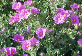 Sunset Rockrose Flowers