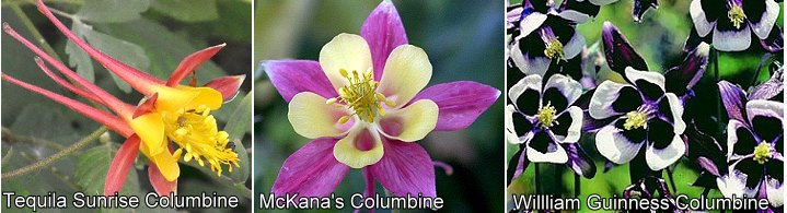 Tequila Sunrise, McKana's Giant and William Guinness Columbines