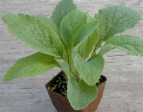Foxglove in pot ready for shipping