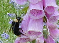 Bee approaching the Foxglove