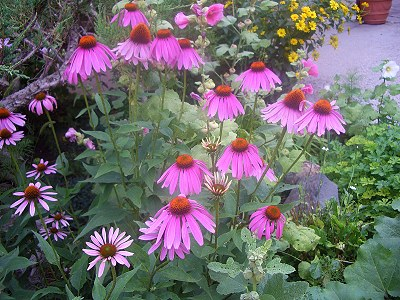 Purple Cone Flower Plants in a mixed border.