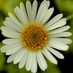 Close up of Santa Barbara Daisy