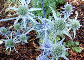 Sea Holly Flowers