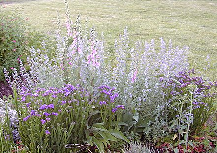 Giant Catmint with Blue Statice and Purple Foxglove in May