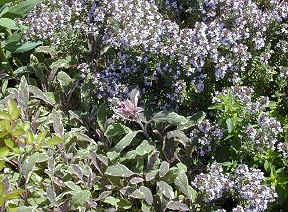 Italian Oregano Thyme and Tricolor Sage