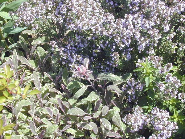 Tricolor Sage with Italian Oregano Thyme