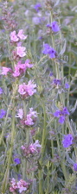 Pink and Blue Hyssop Flowers