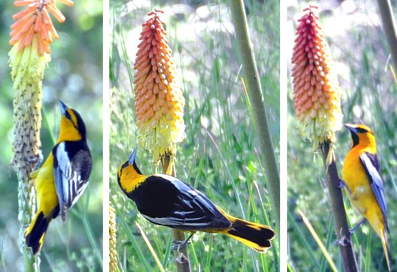 Kniphofias and Orioles