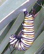 Monarch Caterpillar Hanging on Kniphofia leaf