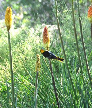 Kniphofias bloom a long time in the garden.