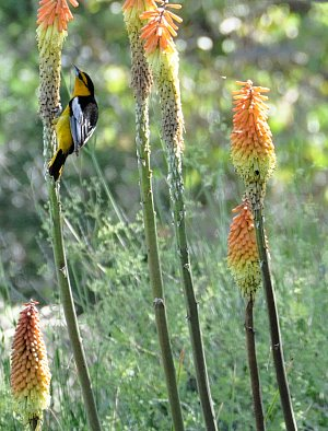 An Oriole sips nectar from a Kniphofia flower.