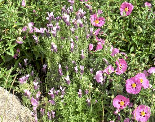Kew Red Spanish Lavender with Orchid Rockrose