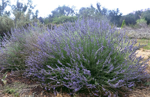 Mature Abrial Lavender in full bloom