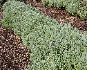 Abrialii Lavender in a row