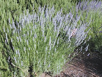 Dutch Mill and Grosso Lavender